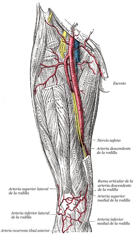 anatomia della prostata del mouse