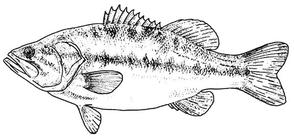 Texas Largemouth Bass Fish Coloring Pages : Best Place To Color Fish Coloring  Page, Coloring Pages, Fish Art