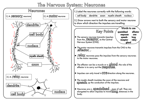 GCSE Revision Nervous System Neurones worksheet by beckystoke – Central Nervous System Worksheet