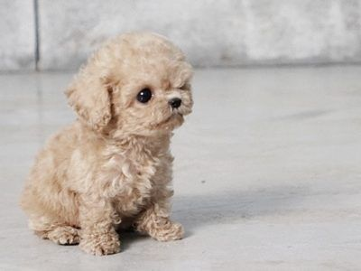 Purchase posh designer dogs! Teacup Puppies for Sale - MICROTEACUPS #cuteteacuppuppies