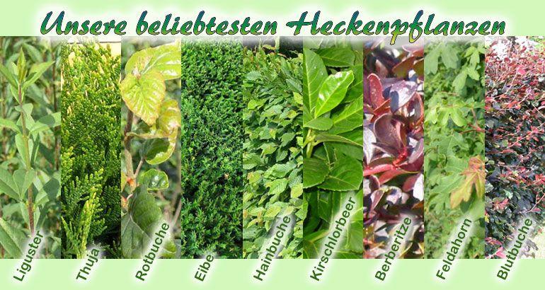 heckenpflanzen liguster hecke hainbuchenhecke und rotbuche g nstige heckenpflanzen im shop