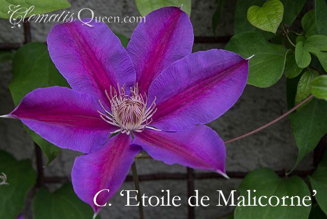 Clematis 'Etoile de Malicorne'