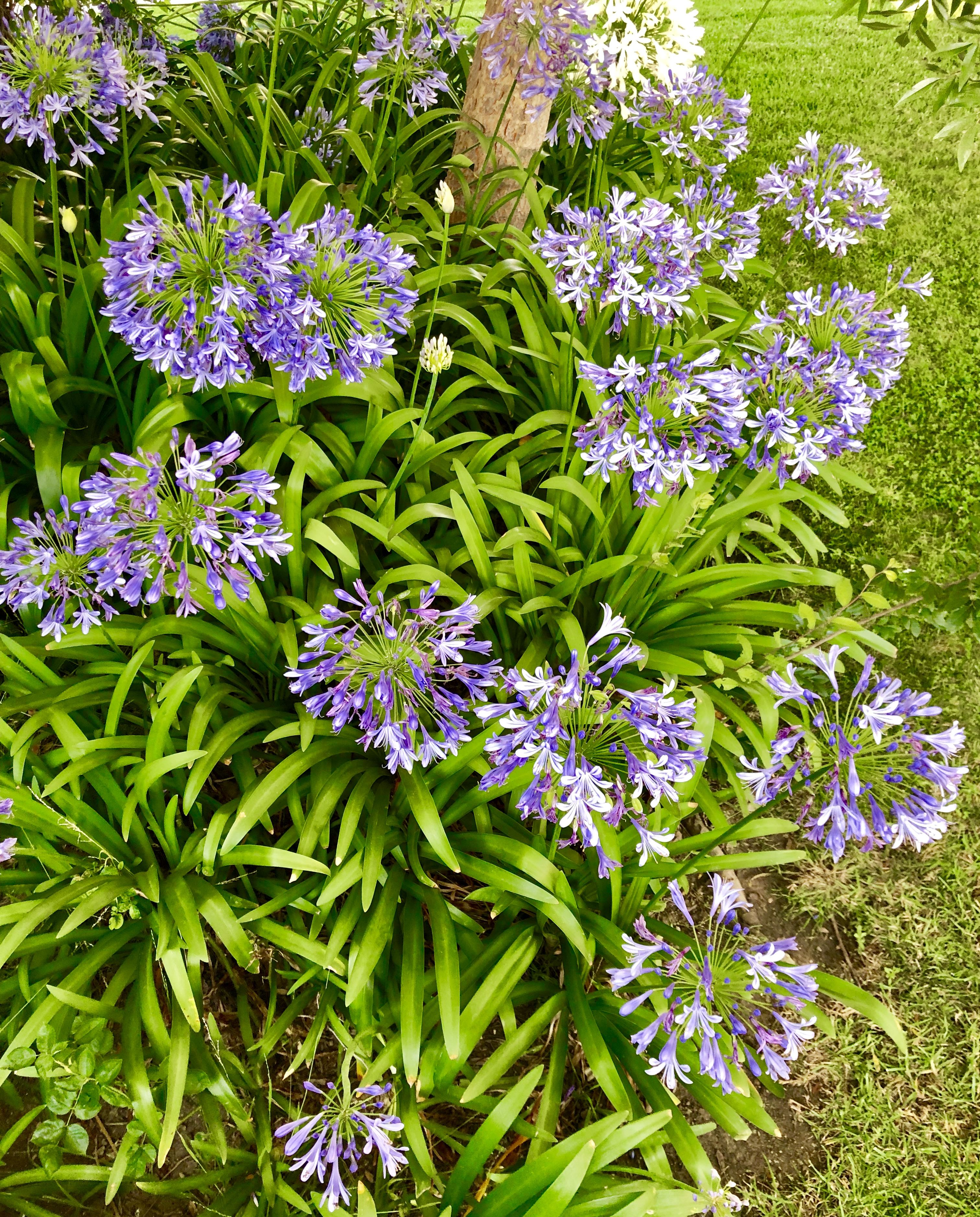 Agapanthus Flowers Or Lily Of The Nile 꽃 사진