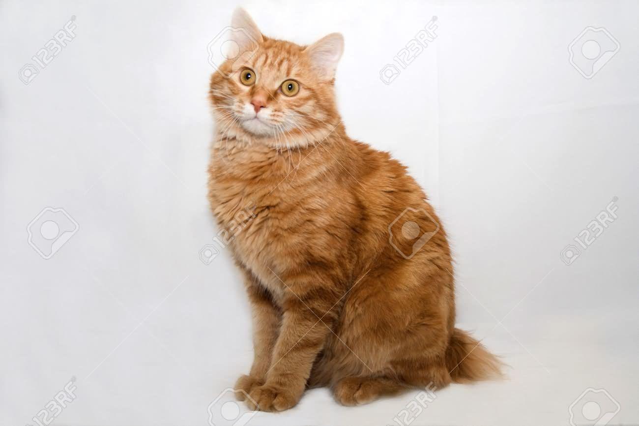 Pin By Andrea Daniel On American Bobtail Cat In 2020 American Bobtail Cat Bobtail Cat Fluffy Cat Breeds