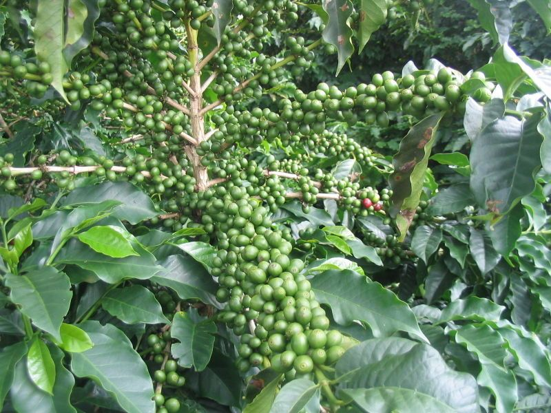 Coffee Coffea Arabica Branch With Immature Fruit Brazil With