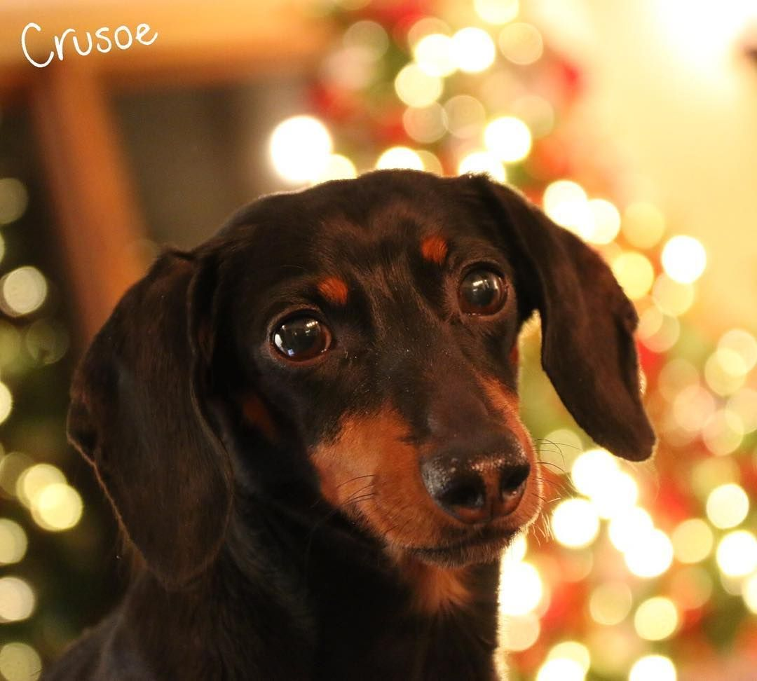 The dachshund is a shortlegged longbodied houndtype dog