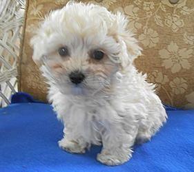 Adopt Marcus On Petfinder Maltese Poodle Poodle Mix Dogs Maltese Poodle Mix
