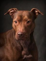 Adopt Cara On Petfinder Doberman Mix Beautiful Dogs Pitbull Terrier