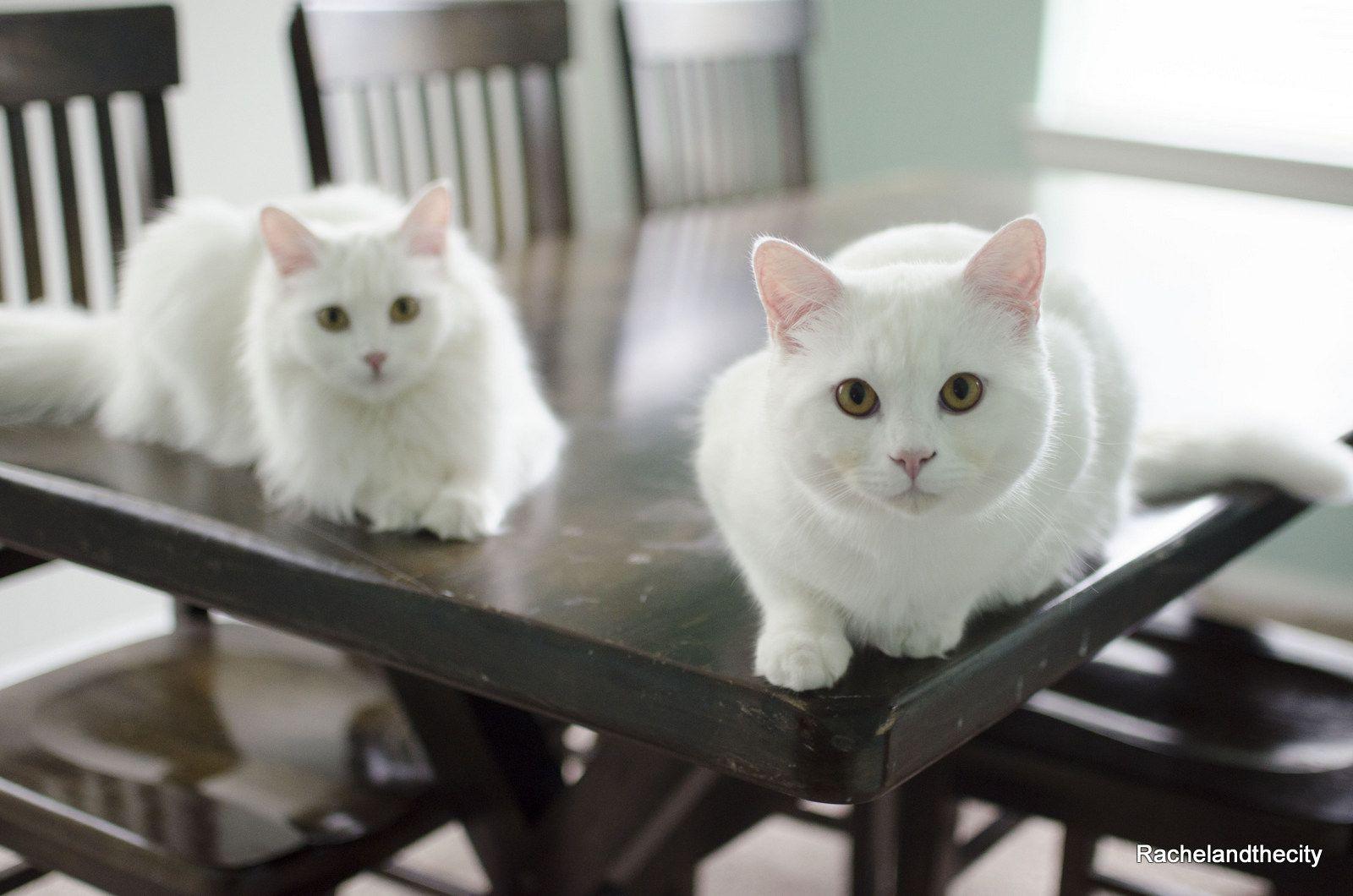 Is my cat a turkish angora