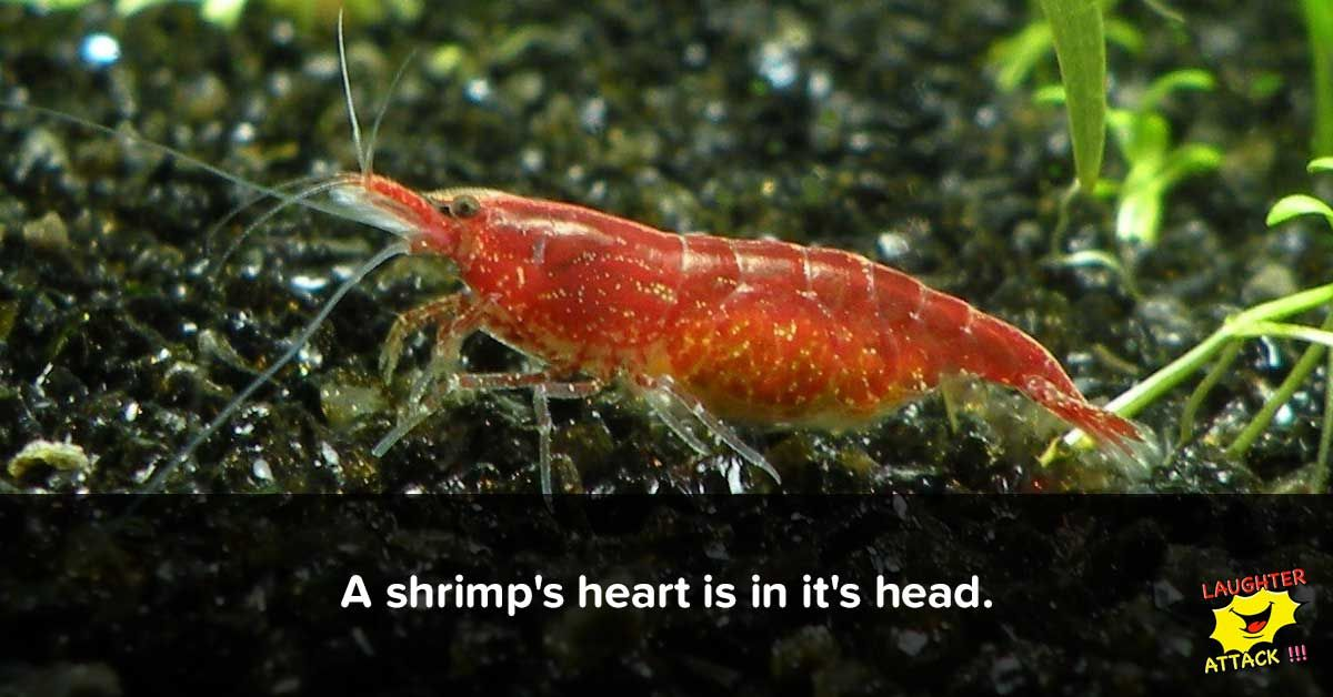 A Shrimp\'s Heart is in it\'s Head   Interesting Facts   Pinterest ...
