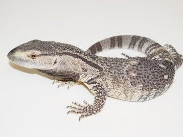 Monitor Lizards for Sale | Lizards for Sale | Monitor lizard