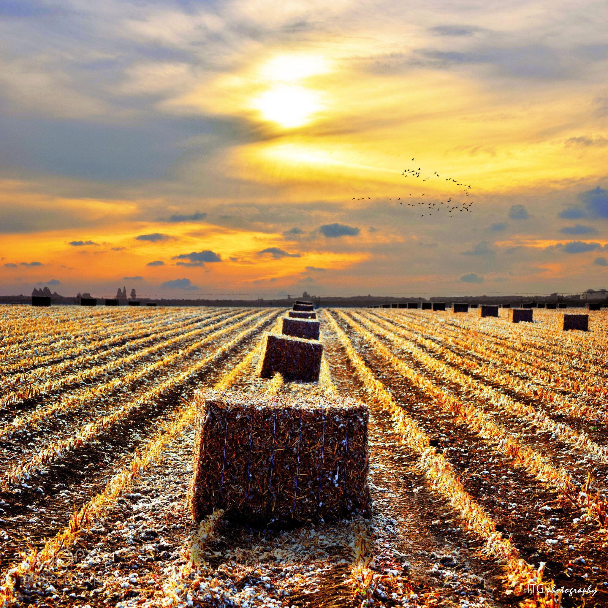 Harvested cotton field at sunset by itgphotography