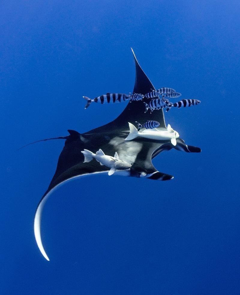 I would love to see a manta ray someday. #animalbucketlist