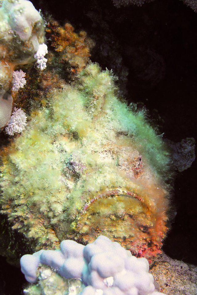 The mother of all stonefish !