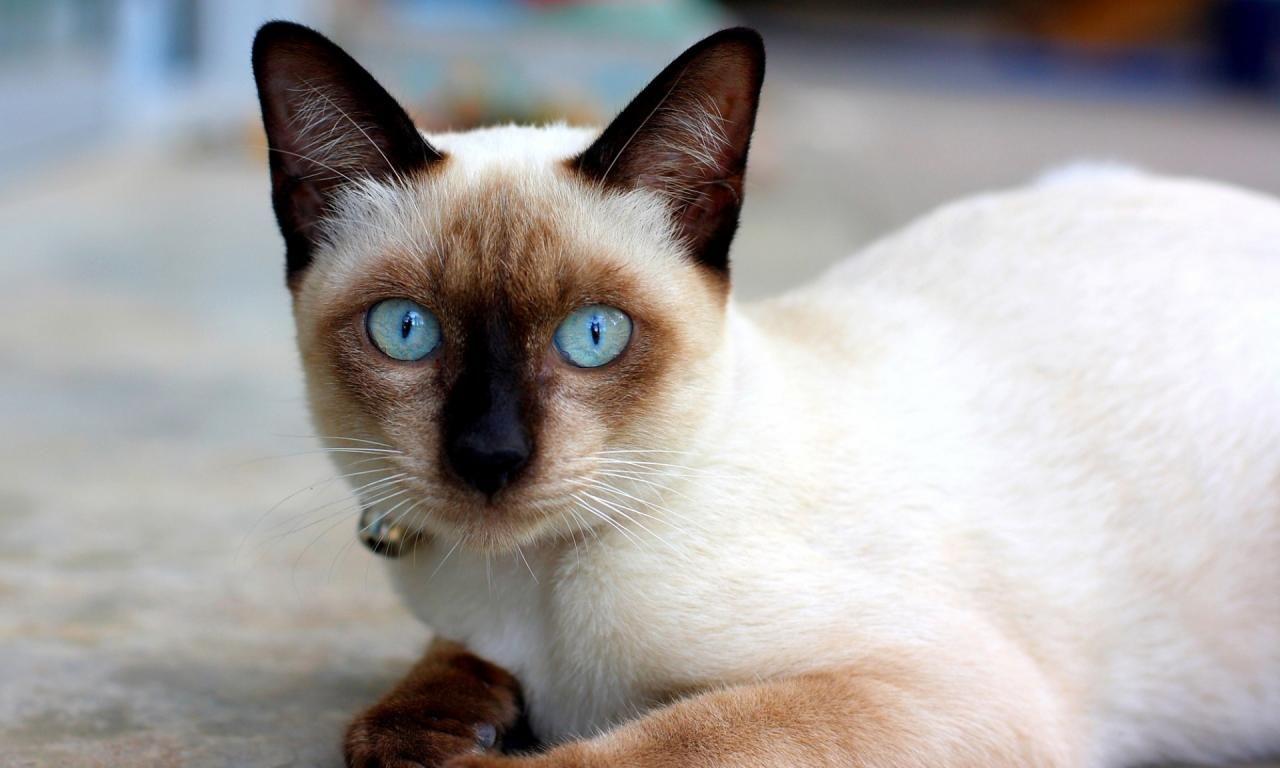 Cats Pets Veterinarian Veterinarycare Miami Florida Fl Animalmedicalcenter Miamivet Cat With Blue Eyes Siamese Cats Blue Point Siamese Kittens