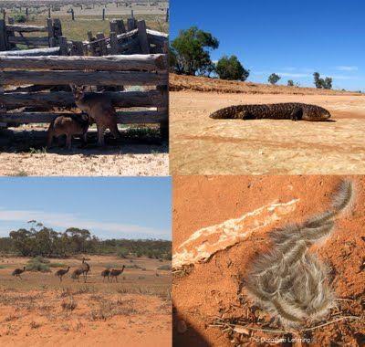 Amazing wildlife, Mungo NP, Australia