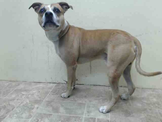 A1015163 BRONCO IS GONE 10/8/14. FLY FREE AND ROMP IN HEAVEN, LITTLE BOY!