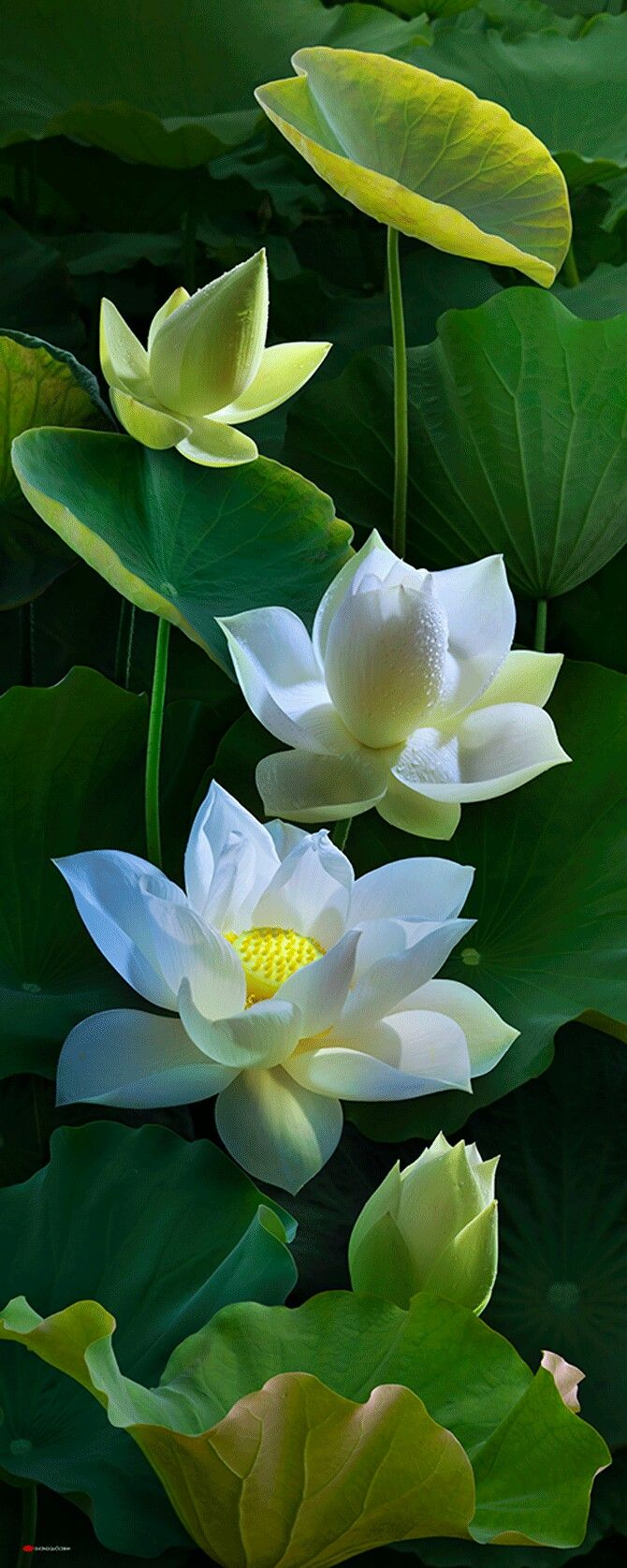 Pin By On Pinterest Lotus Flowers And Plants