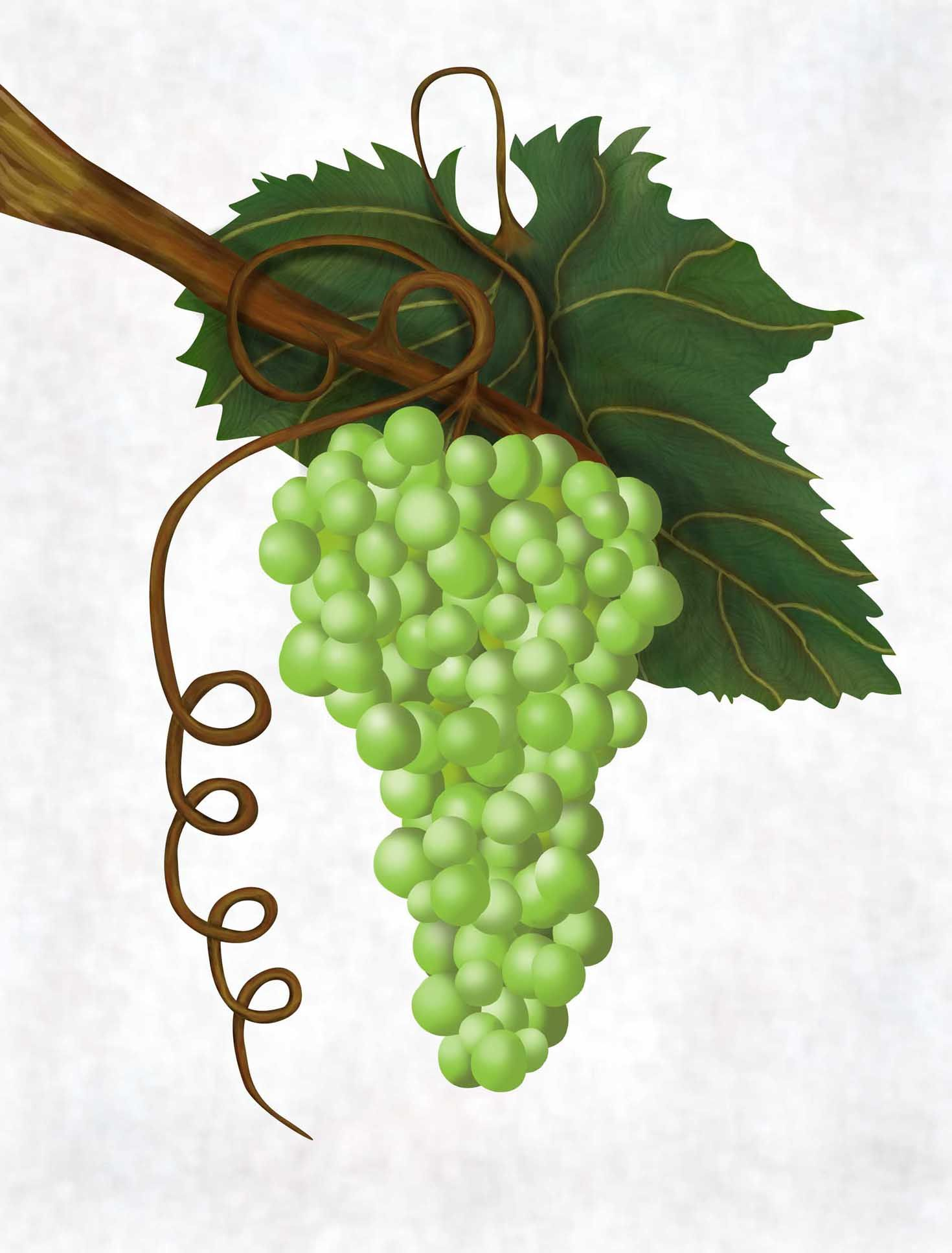 Grapes Are Used To Symbolize Abundance In Food And In Wealth For