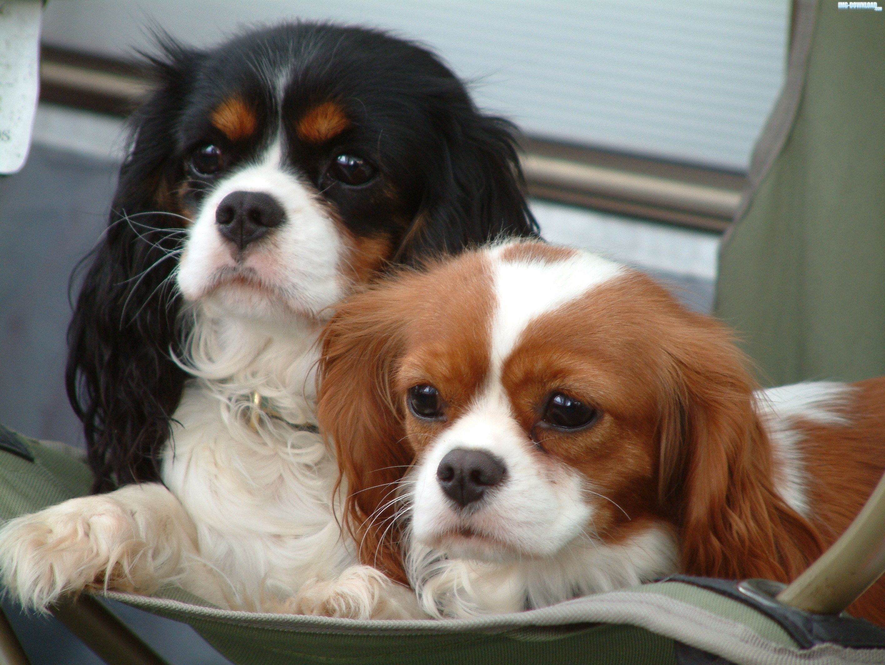 Cavalier King Charles Spaniel Dogs Image Wallpaper (With