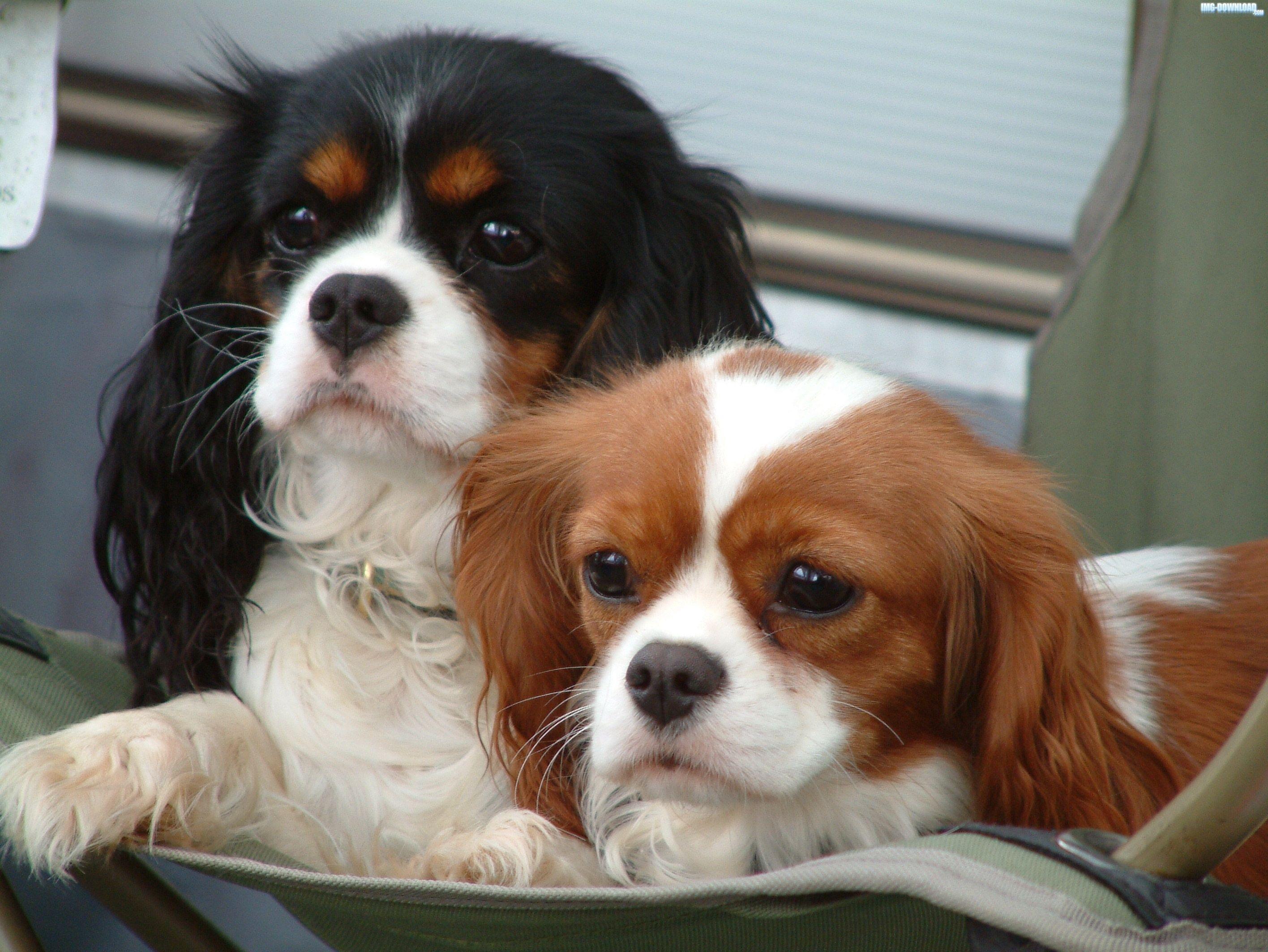 Download Charles Spaniel Brown Adorable Dog - 28d6afde10edd11501c876c561f26acb  Best Photo Reference_431462  .jpg