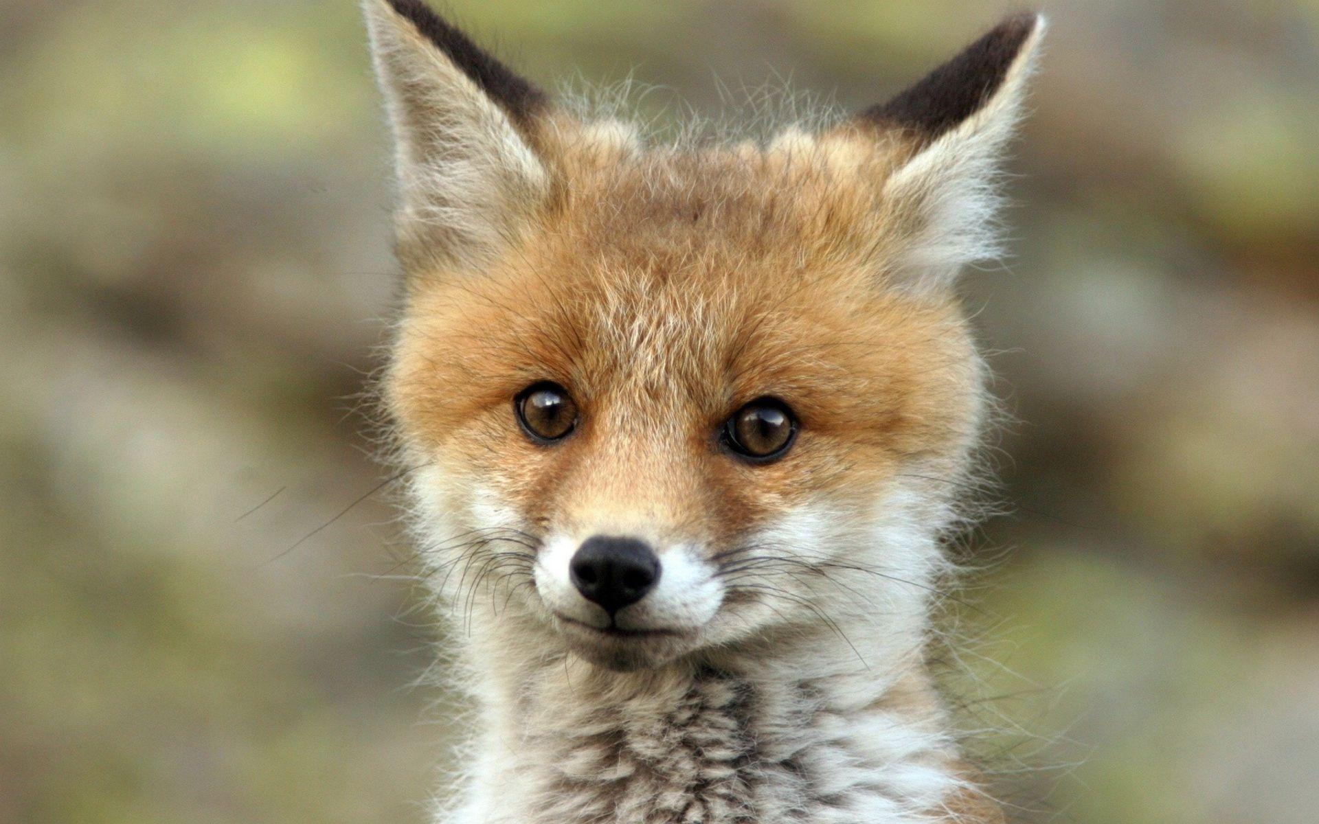 Adorables animales salvajes - zorro