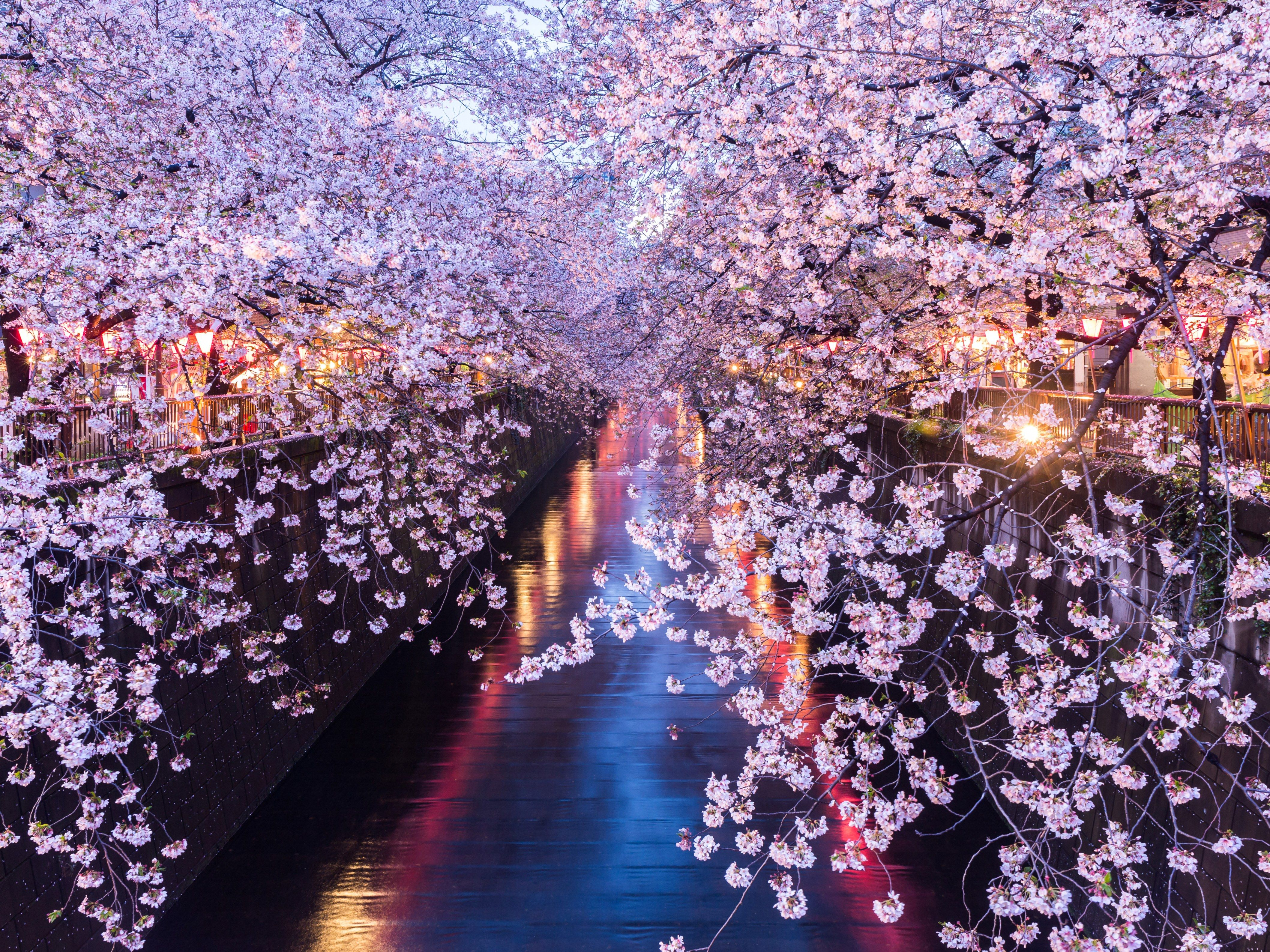 Fly To Tokyo For 499 During Cherry Blossom Season Cherry Blossom Cherry Blossom Season Cherry Blossom Flowers