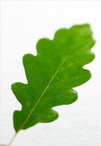 feuille de chene feuille arbre feuille