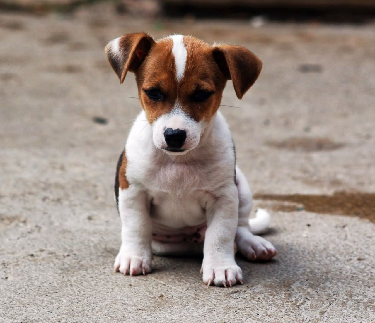 Pin By Joe Glass On Jack Russell Jack Russell Puppies Jack Russell Terrier Puppies Jack Russell