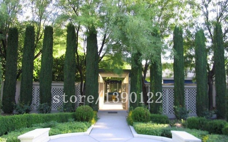 100 pcs italy cypress tree seeds tree seeds for home garden planting beautiful need tree seeds free shipping price low