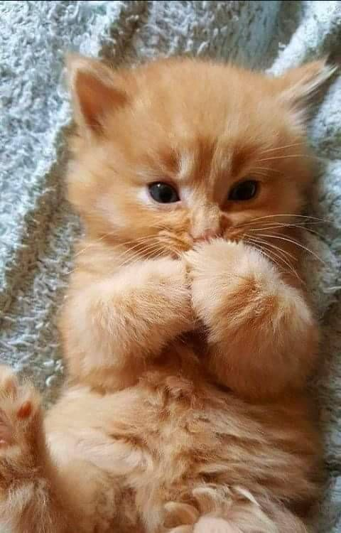 Felines Are Fascinating Creatures For Many Reasons And It Turns Out That A Cat S Paws Are Filled With Many Curio Cute Animals Cute Baby Animals Kittens Cutest