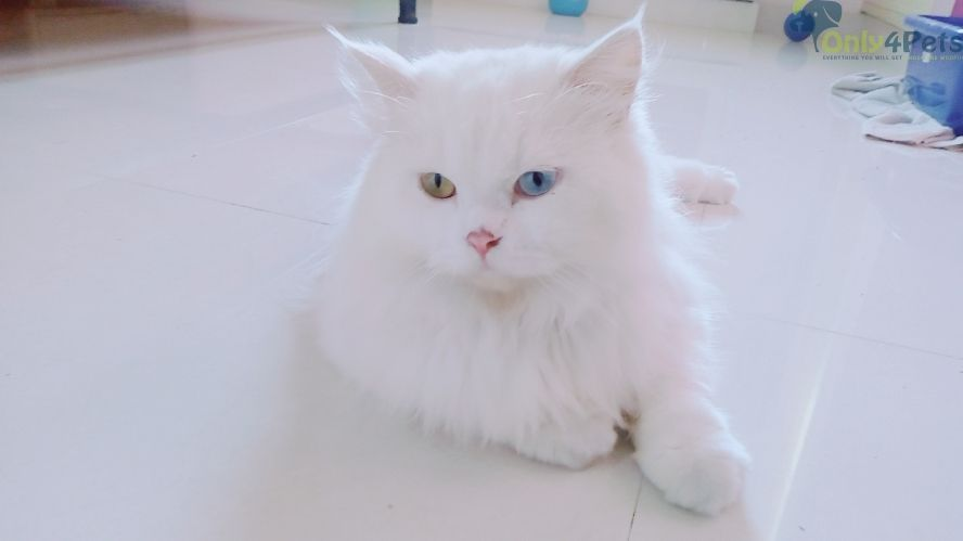 Pin By Only4pets On Only4pets Persian Cat White Persian Cats For Sale Persian Cat