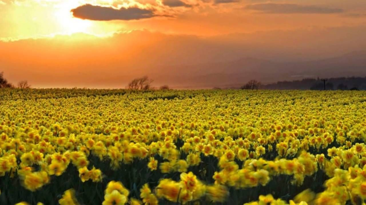 Poem I Wandered Lonely A Cloud William Wordsworth Daffodil Image Field Wallpaper Theme Of