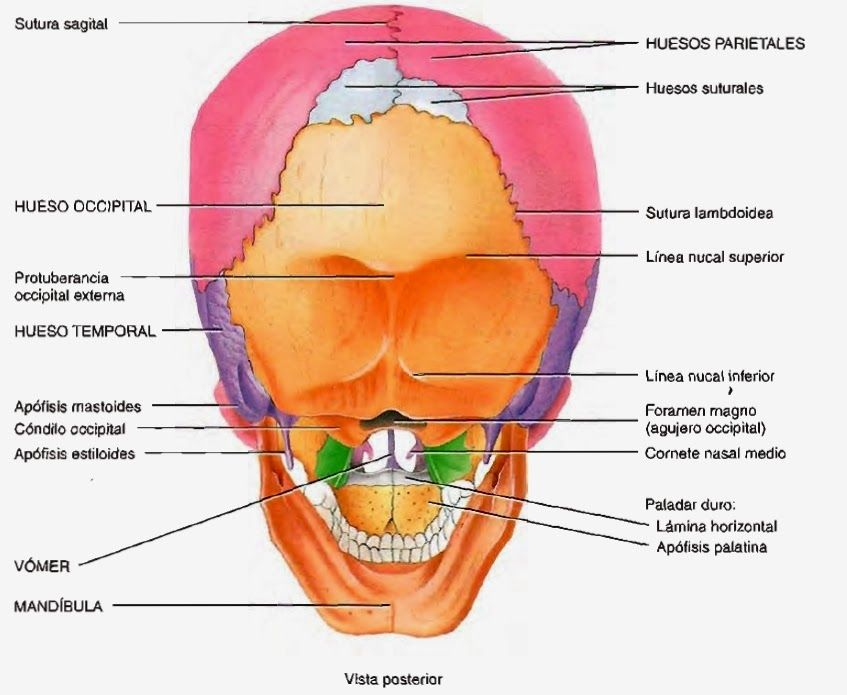 Cráneo huesos y suturas - Skull bones and sutures | Cráneos y ...