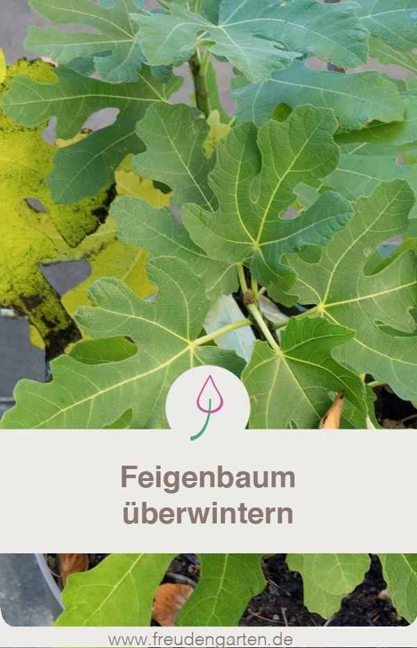 Feigenbaum Im Topf Und Garten Uberwintern Feigenbaum Garten Anpflanzen Feigenbaum Pflanzen