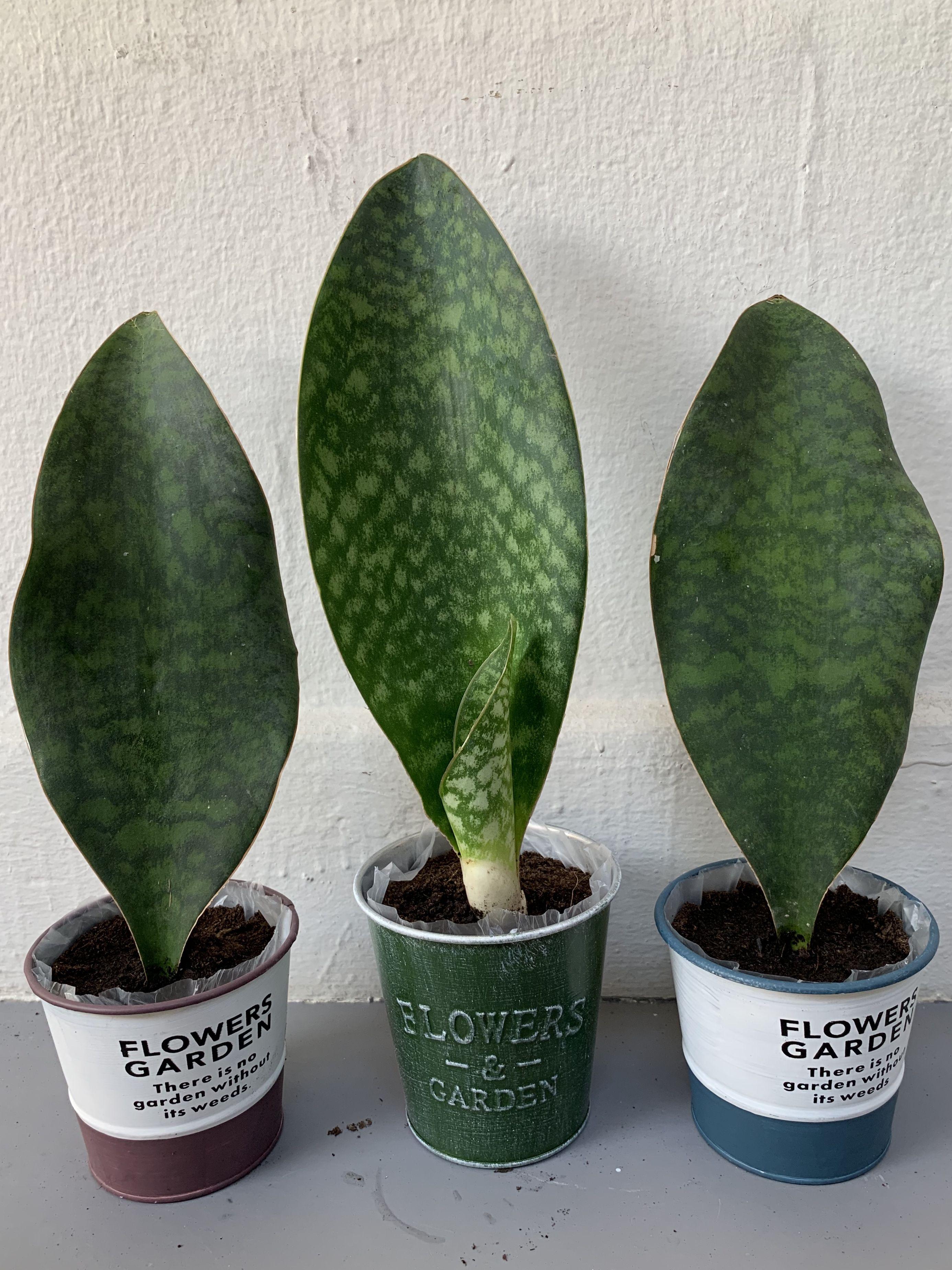 Sansevieria Masoniana Whale Fin Snake Plant Sansevieria Plant
