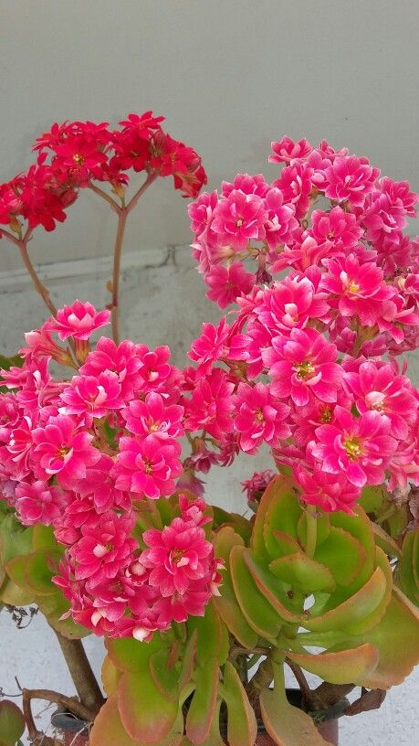 Pink Kalanchoe.