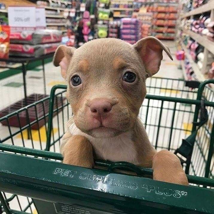 pibble baby shopping...