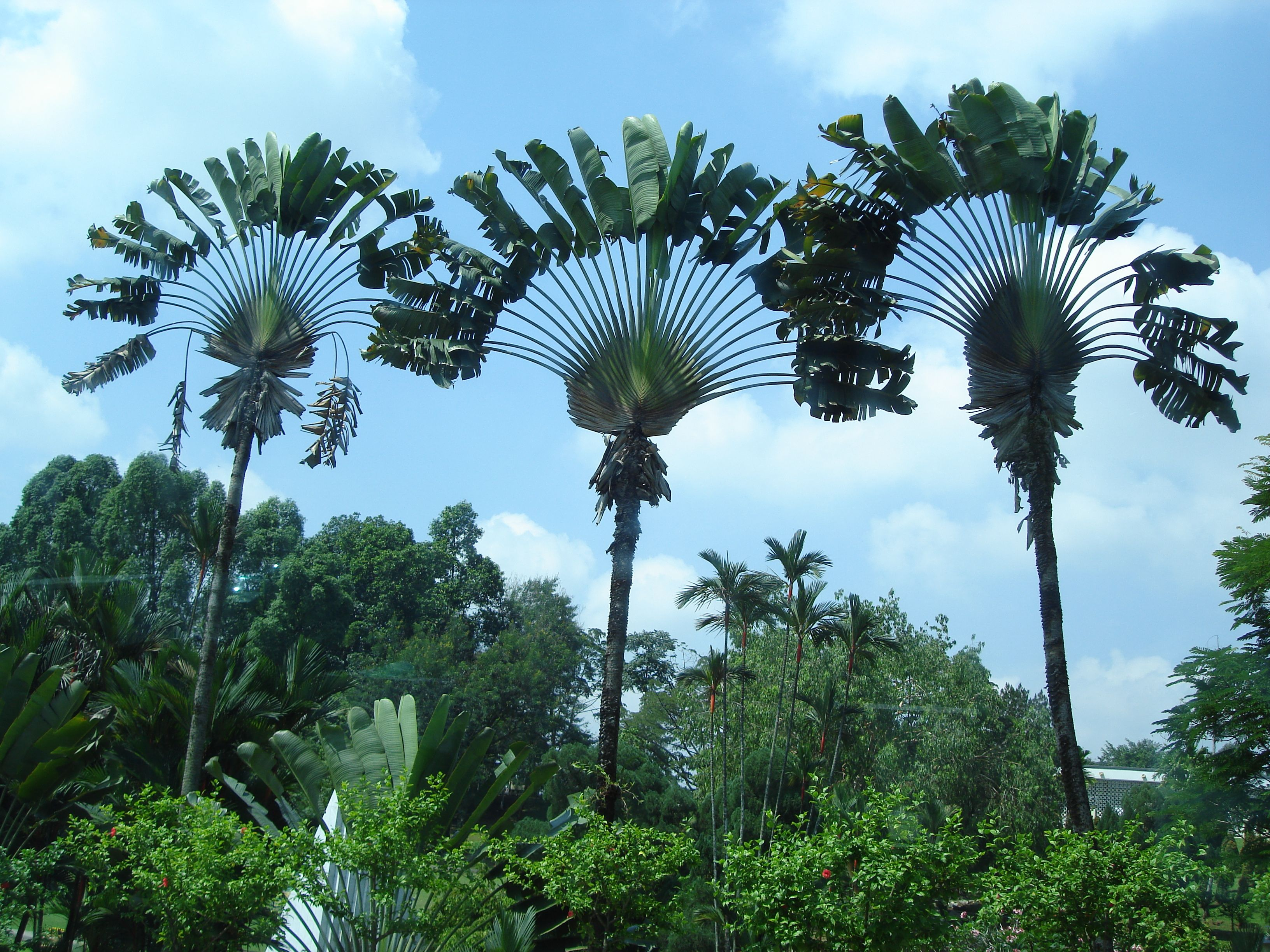Why are palm trees beautiful fan palm palm and gardens for Garden trees types