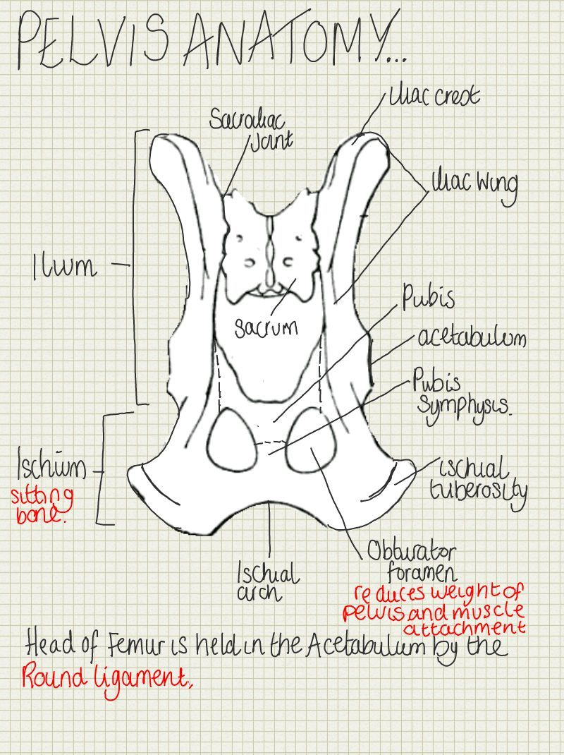 Horse Skeleton Diagram Labeled 1988 Toyota Pickup Headlight Wiring A Place To Find Hints, Tips And Ask Questions. : Anatomy Of The Pelvis… | Future Vet Med ...
