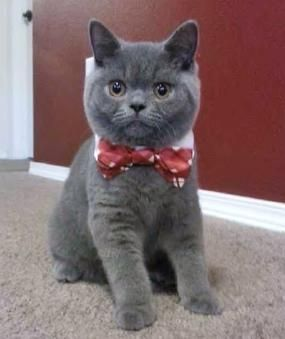 Www Silverbrookcattery Com British Shorthair Kittens Kittens For Sale Cats For Sale Cat Kitten Kitten Adoption British Shorthair Cats British Shorthair