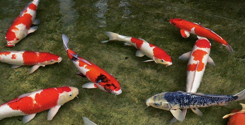 La leyenda de los peces koi peces pinterest for Japanischer kampffisch