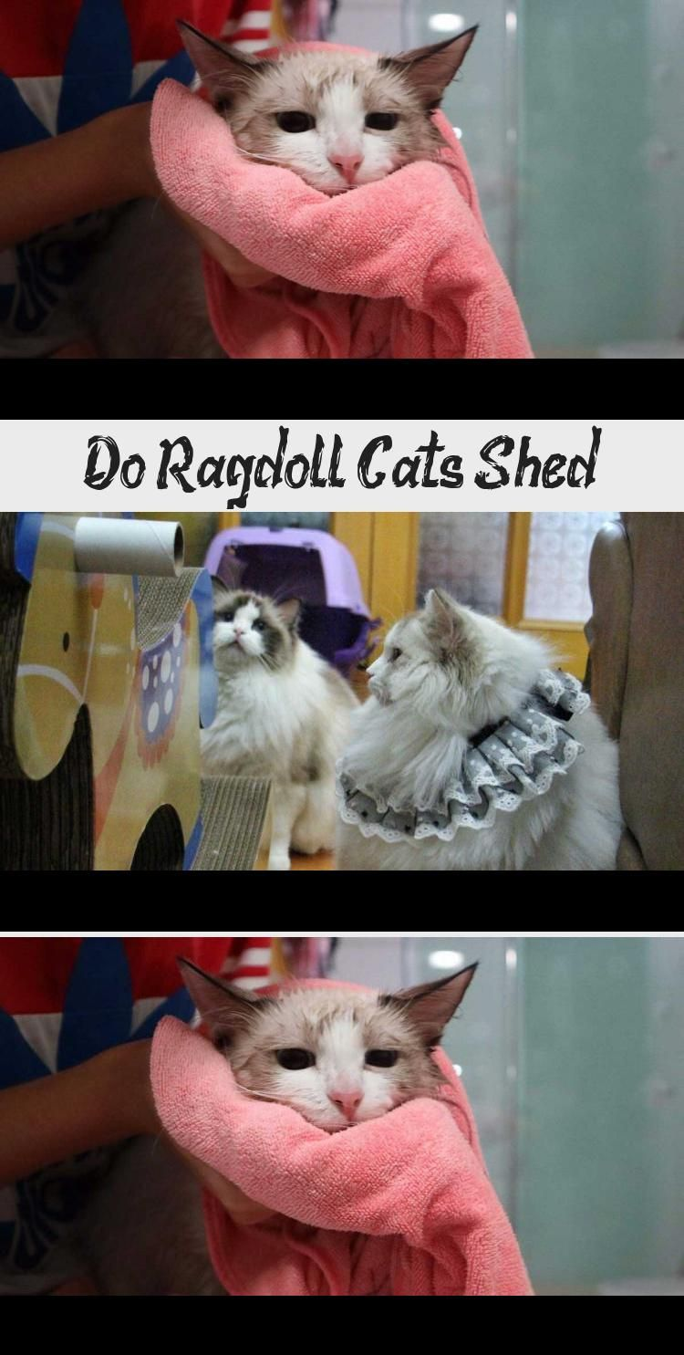 Do Ragdoll Cats Shed Cats In 2020 Cat Shedding Ragdoll Cat Cats