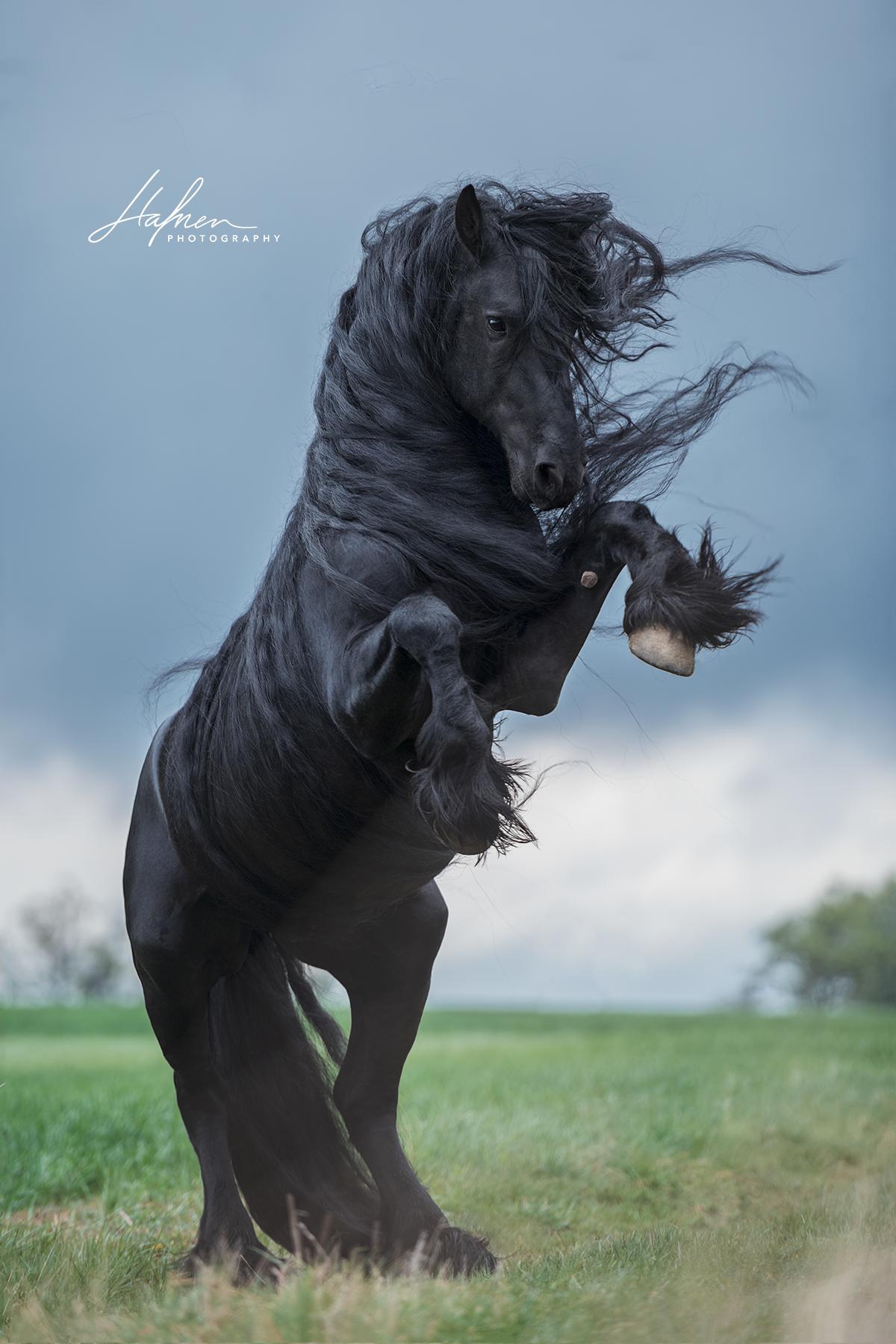 Friese Steigt Schwarzes Pferd Pferdefotografie In Der