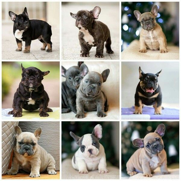 French Bulldog Puppies In So Many Colors French Bulldog Puppies