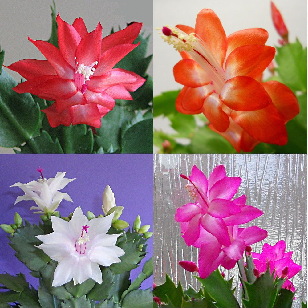 4 christmas cactus cuttings, red, pink, white & orange - 1 segment