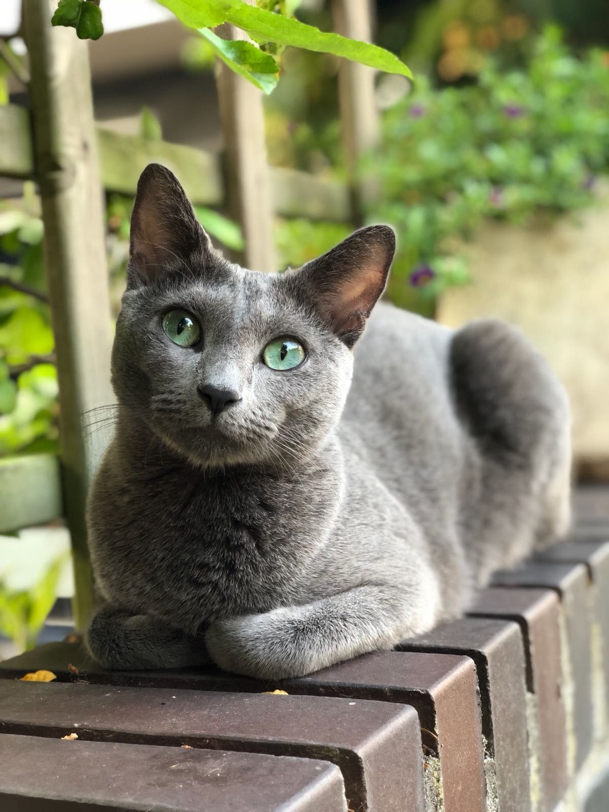 Discover The Russian Blue Cats Russian Blue Cat Cats And Kittens Russian Blue