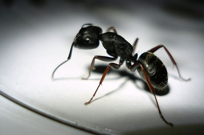 How To Keep Ants Out Of Your House Naturally Ants Get Rid Of Ants Kill Carpenter Ants