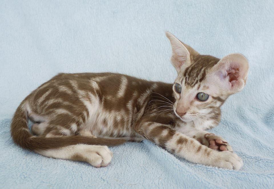Cinnamon Silver Classic Tabby Oriental Shorthair Kitten