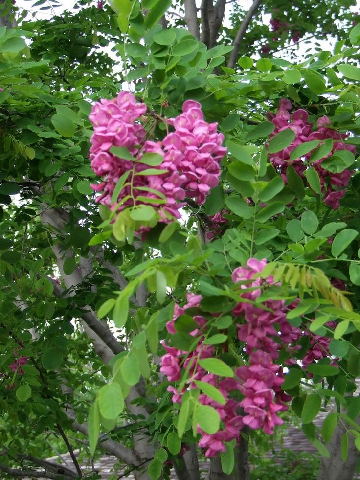Purple Robe Locust Or Idaho Love Them But My Flowers Pl